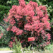 Red smoke tree