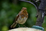 27th Jul 2020 - Young Robin