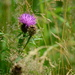 Meadow thistle...........