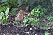 27th Jul 2020 - RK3_2829 Baby robin