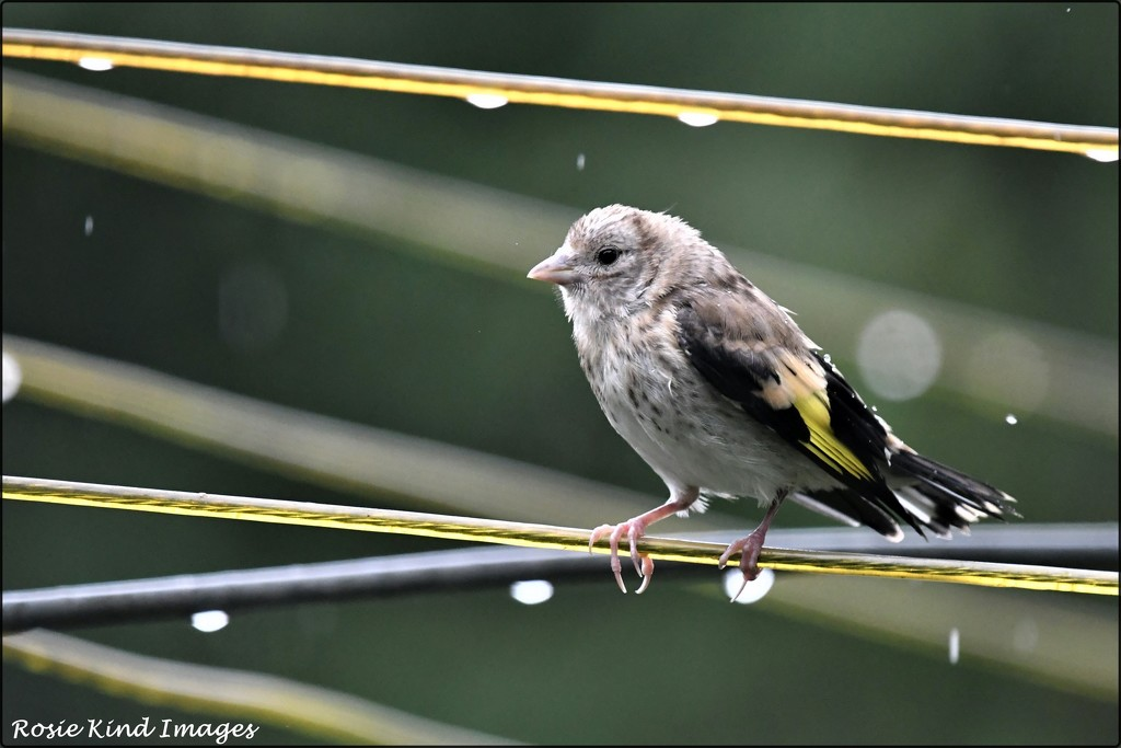 Unhappy goldfinch by rosiekind