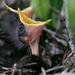 Mockingbird baby—? days old.  by dutchothotmailcom