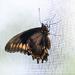 Butterfly? Moth?