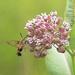 Hummingbird Moth by fayefaye