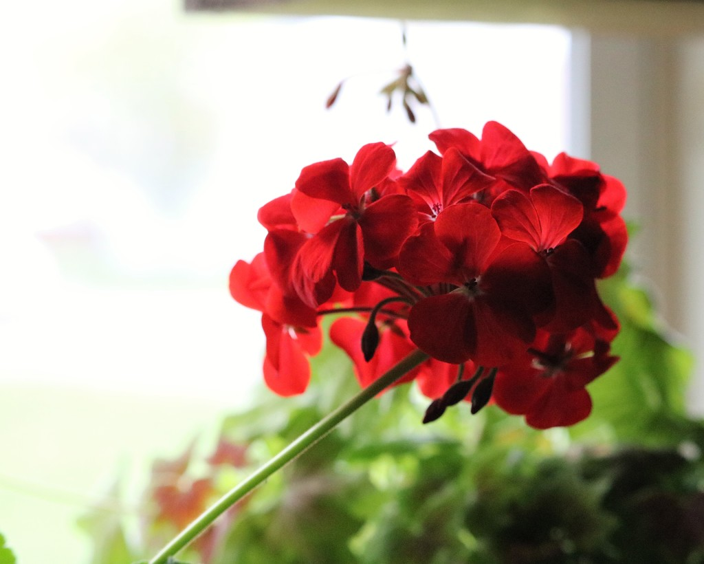 April 4: Geranium by daisymiller