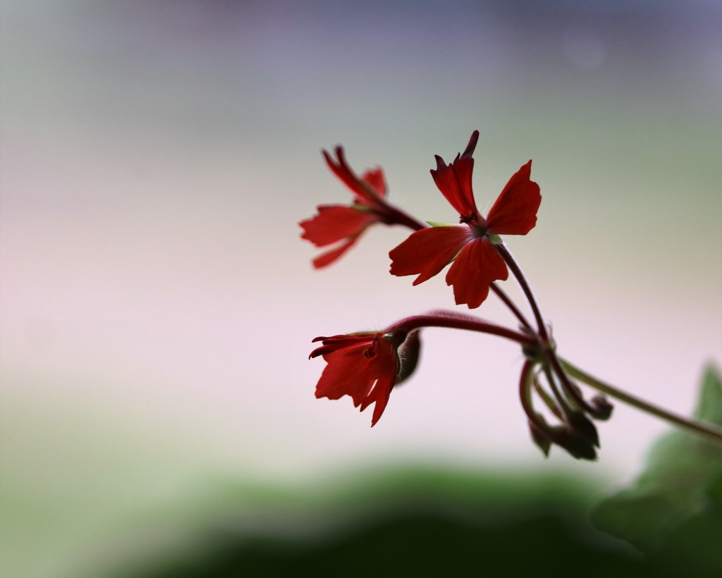 April 5: Geranium? by daisymiller