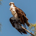 Osprey Dad, Drying Out!