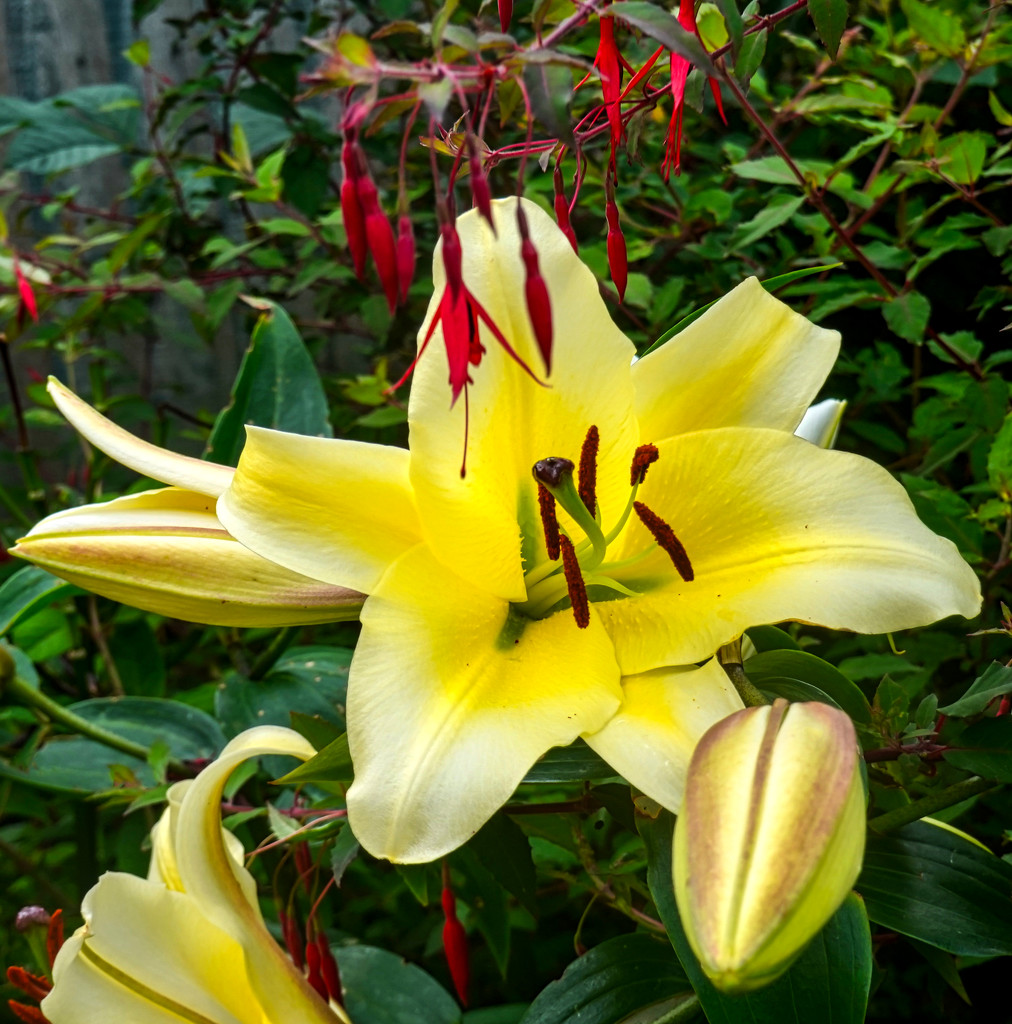 New Lily. by tonygig