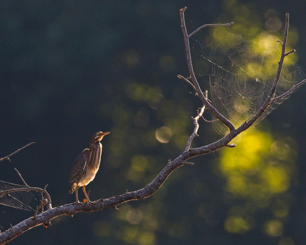 LHG-0156- Lil Green Heron in the treetop  by rontu