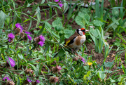 28th Jul 2020 - Goldfinch in the flowers