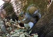 28th Jul 2020 - Same species different squirrel!