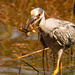 Yellow Crowned Night Heron!