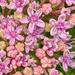 Heart of the hydrangea by pamknowler