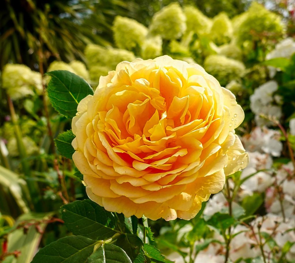 Golden Wedding Rose  by tonygig