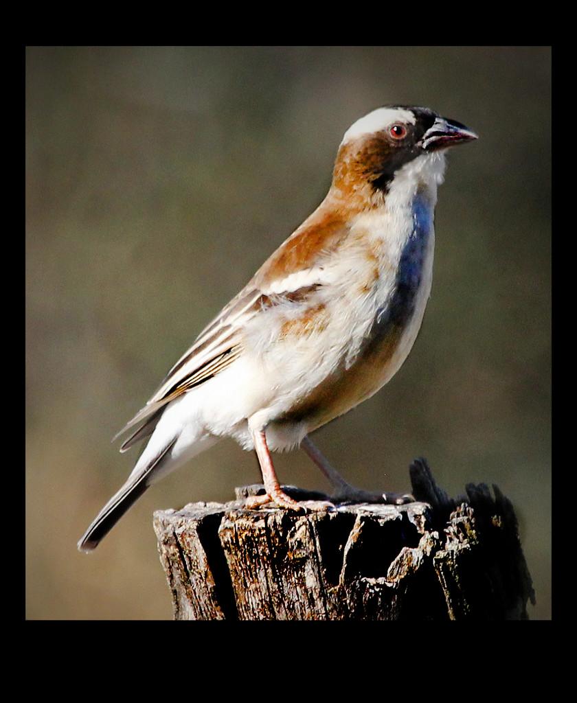Sparrow    by sdutoit
