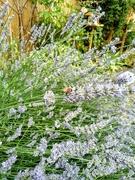 18th Jul 2020 - Bee on lavender