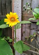 23rd Jul 2020 - Sunflower