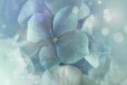29th Jul 2020 - 2020-07-29 hydrangea dream