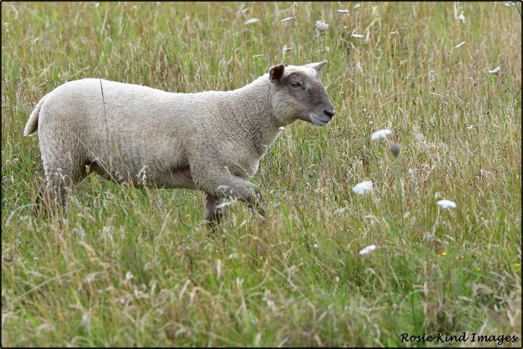 Lamb  by rosiekind
