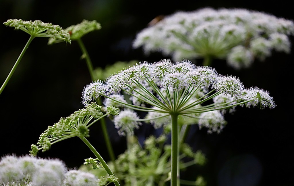 Queen Anne's Lace by carole_sandford