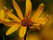 29th Jul 2020 - false sunflower