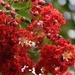 Honeybees love crepe myrtle flowers