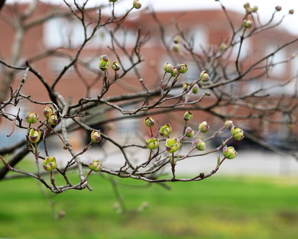 April 6: Dogwood by daisymiller