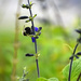Shy Bumblebee