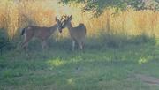 29th Jul 2020 - Brother deer