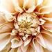 Peaches & Cream by carole_sandford