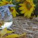 Sleeping Sunflower Fairy