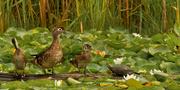 30th Jul 2020 - wood ducks vs turtles