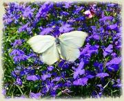 31st Jul 2020 - butterfly on lobelia