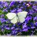 butterfly on lobelia by gijsje