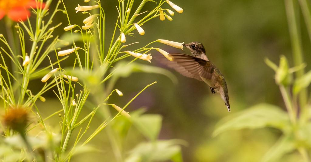 Hummingbird After the Pollen! by rickster549
