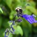 bumblebee on agapanthus