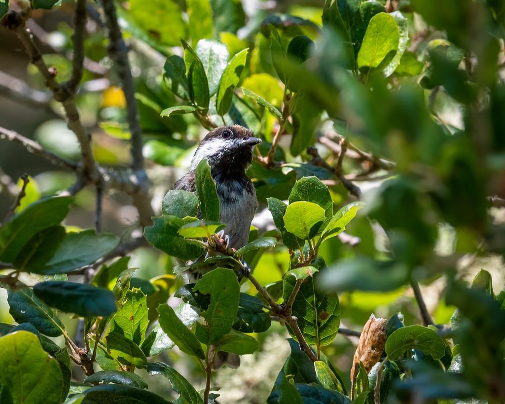 Chestnut-backed Chickadee by nicoleweg