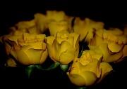 15th Feb 2010 - Yellow Roses