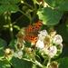 Comma on Blackberry Flowers