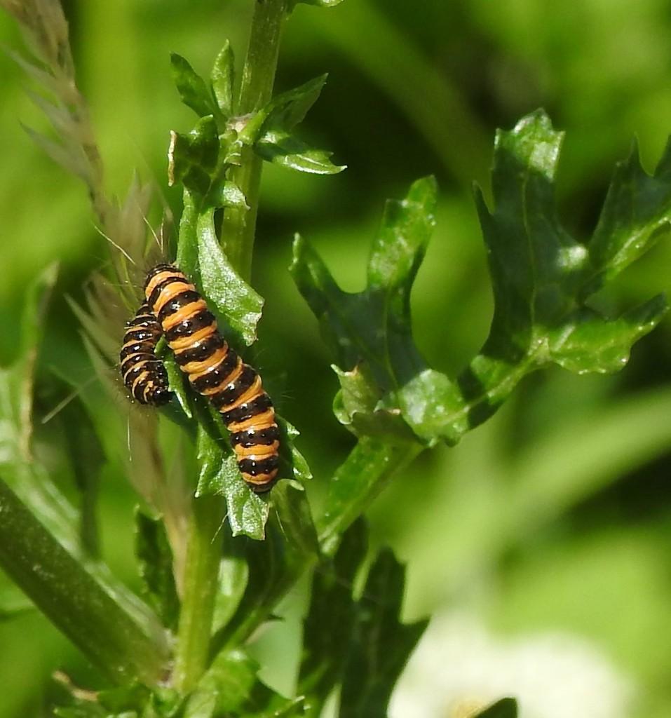 Cinabar Moth Caterpillars by oldjosh