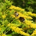 Bees on Golden Rod