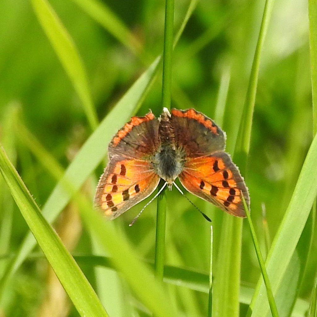 Small Copper by oldjosh