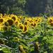 Golden field by randystreat