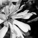 Magnoia in mono by brigette