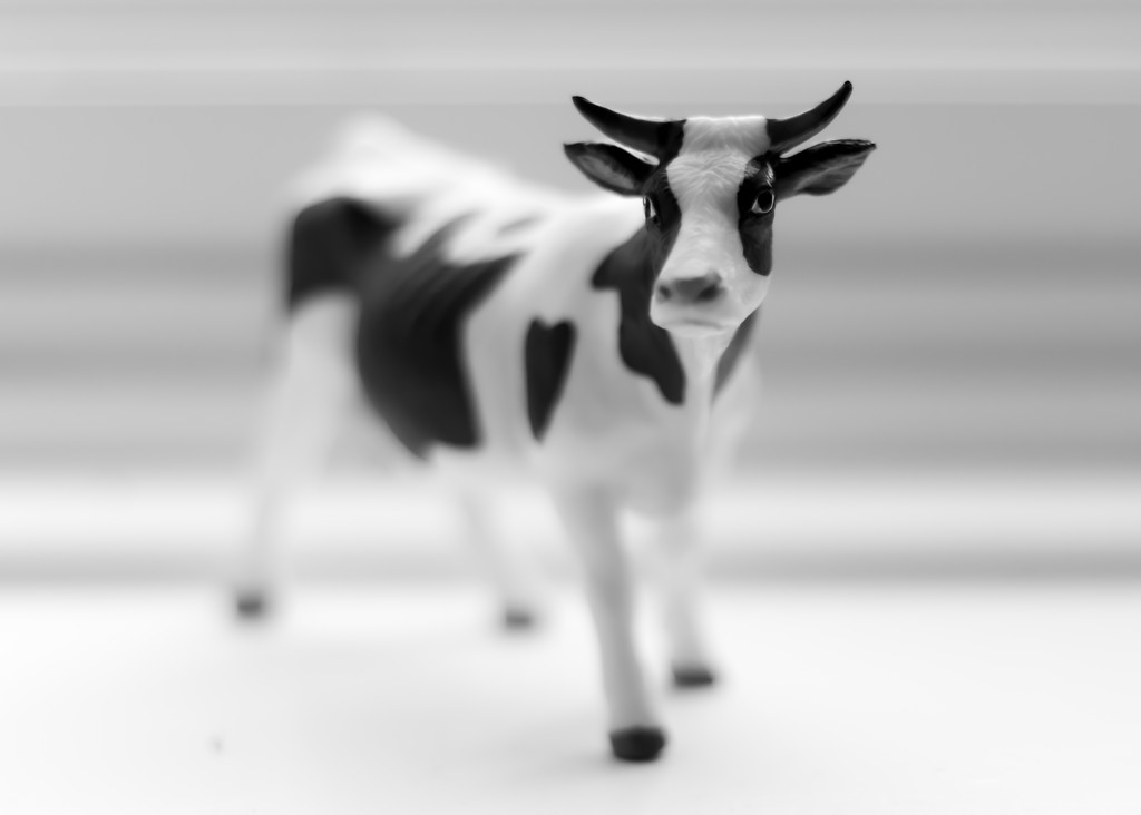 have a cow by northy