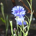 (Spotlight) sunlight on the cornflowers