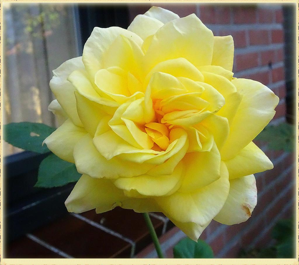 yellow rose by gijsje