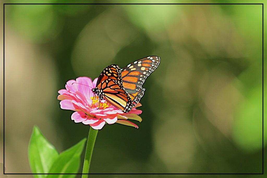 A Monarch on the Zinnia by olivetreeann