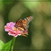 A Monarch on the Zinnia by olivetreeann