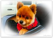 1st Aug 2020 - Gizmo the Bikey dog...